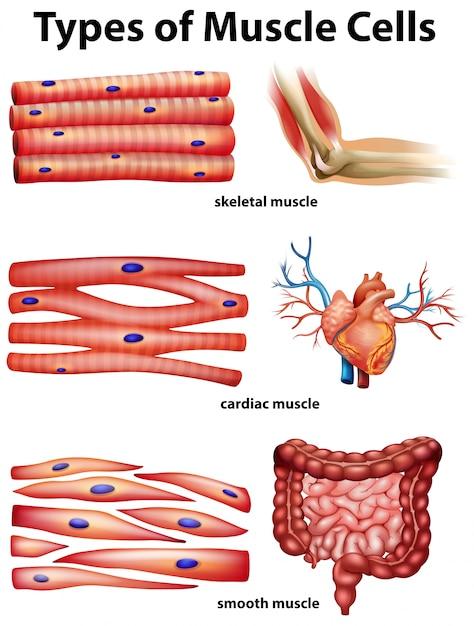 Diagrama que muestra los tipos de células musculares   Descargar ...