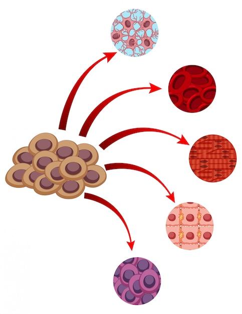 Diagrama que muestra una mirada más cercana de diferentes celdas ...