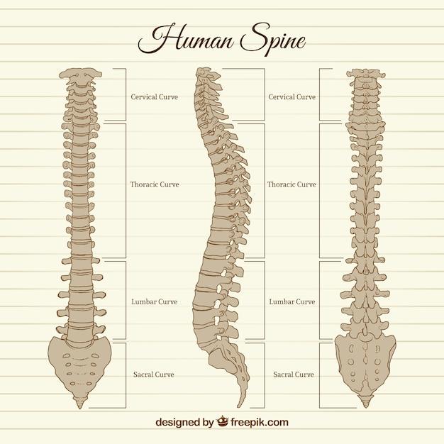 Dibujado a mano la espina dorsal humana | Descargar Vectores Premium