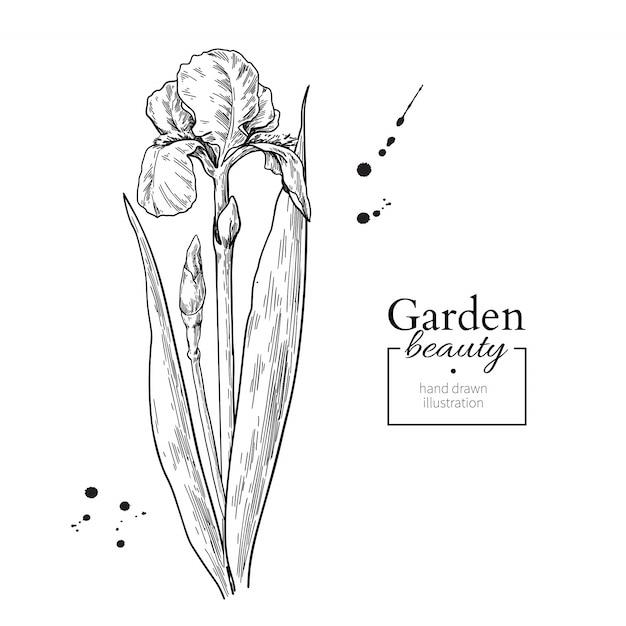 Dibujo De Flores Y Hojas De Iris Descargar Vectores Premium