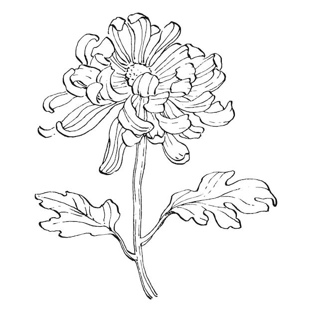 Diseño de ilustración de boceto de crisantemo Vector Premium