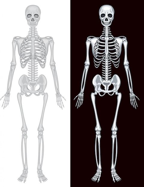 Esqueleto humano en fondo blanco y negro | Descargar Vectores Premium