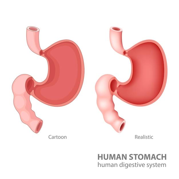 Estómago humano en dibujos animados y realista | Descargar Vectores ...