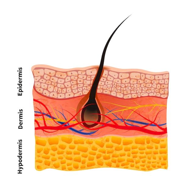 Estructura detallada de la piel humana con cabello, ilustración médica en blanco Vector Premium