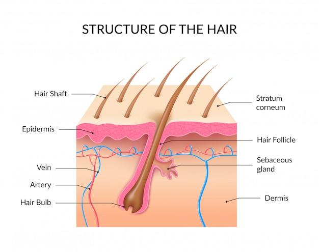 Estructura de la infografía del cabello. vector gratuito