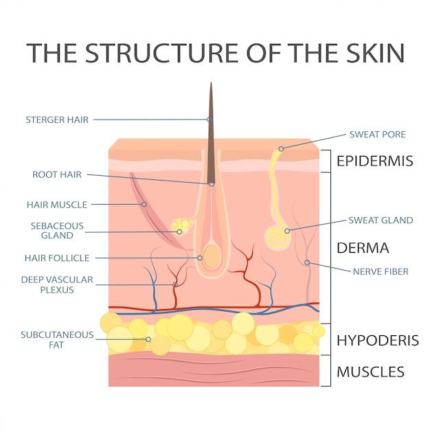 Estructura de la piel humana, anatomía de la epidermis. Vector Premium