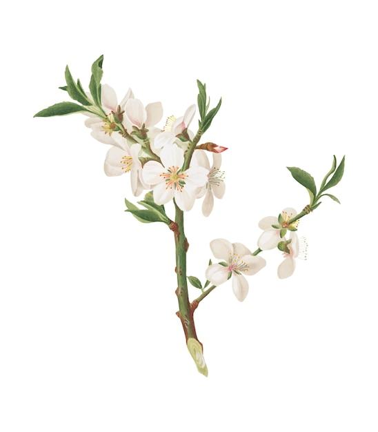 Flor del almendro de la ilustración de pomona italiana vector gratuito