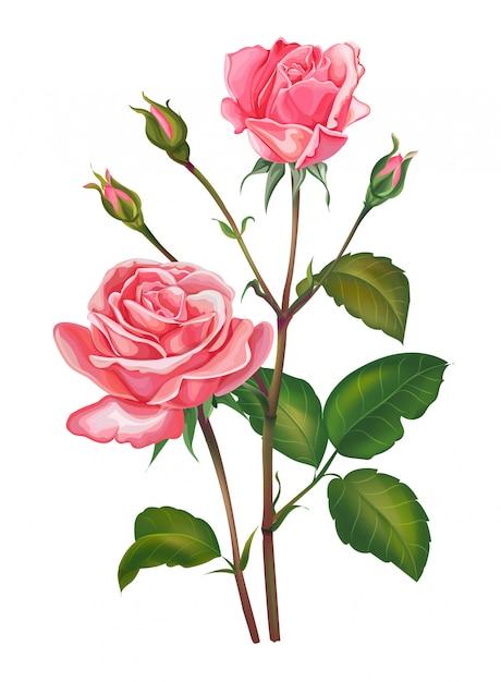 Flor rosa rosa aislado en blanco Vector Premium
