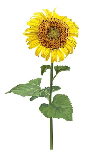 Flor de sol realista sobre fondo blanco Vector Premium