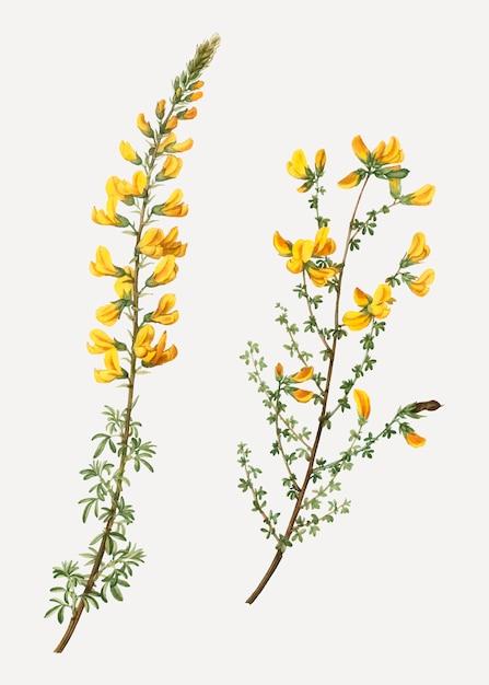 Flores de cytisus complicatus vector gratuito