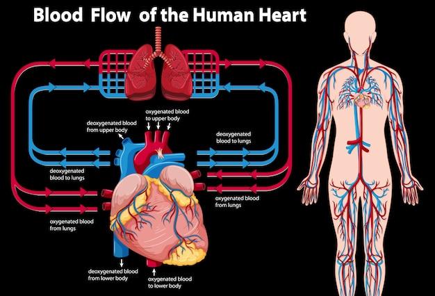Flujo de sangre del corazón humano vector gratuito