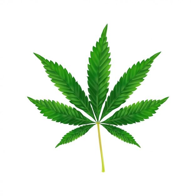 Fondo de hoja de marihuana o cannabis. ilustración realista de la planta aislada en blanco. Vector Premium