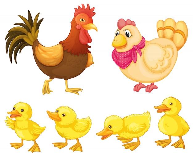 Gallos Coloridos Dibujos Animados: Gallo, Gallina Y Polluelos En Blanco