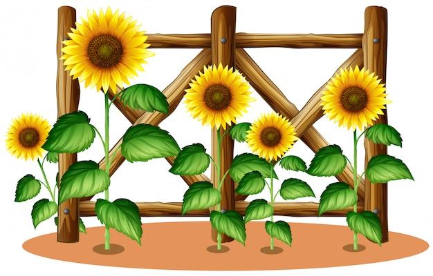 Girasoles y valla de madera. vector gratuito