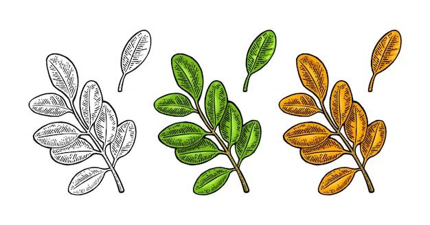 Hoja de acacia. primavera verde y otoño naranja. grabado Vector Premium