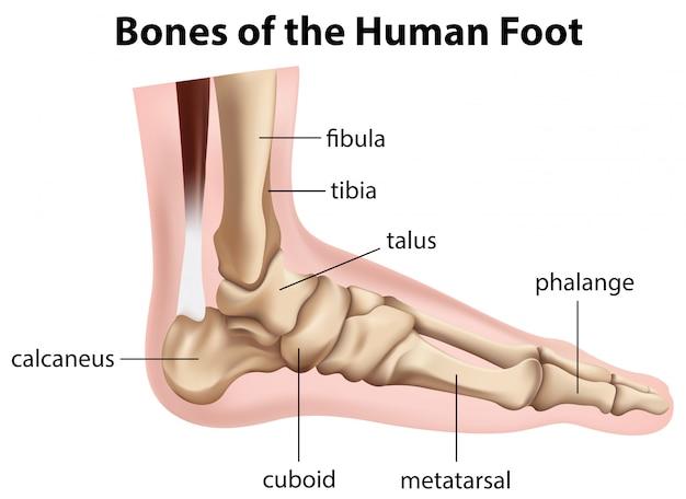 Huesos del pie humano vector gratuito