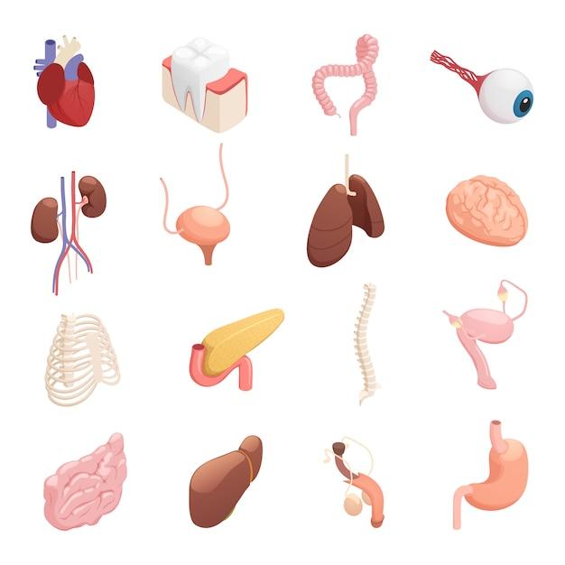 Iconos isométricos de órganos humanos vector gratuito