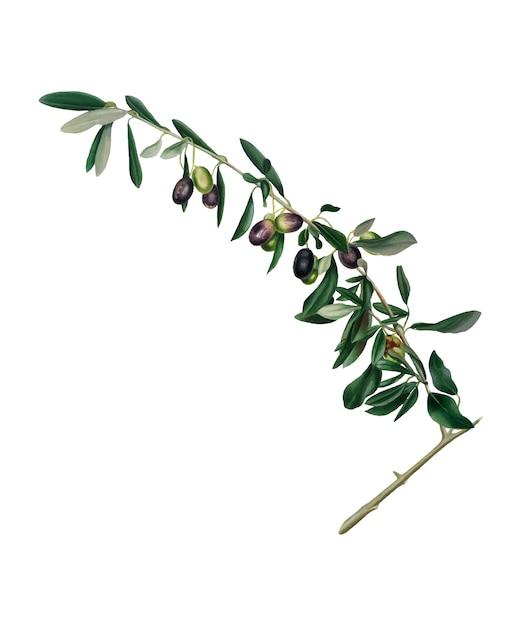 Ilustración de aceitunas de pomona italiana. vector gratuito