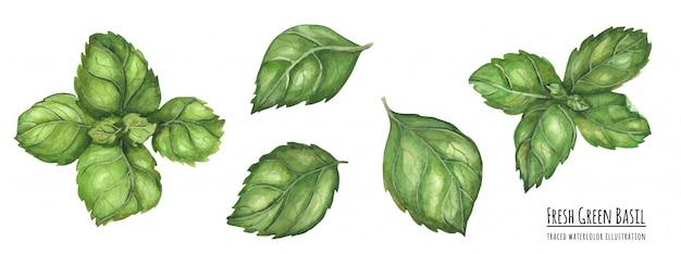 Ilustración acuarela trazada hojas de albahaca verde fresco Vector Premium