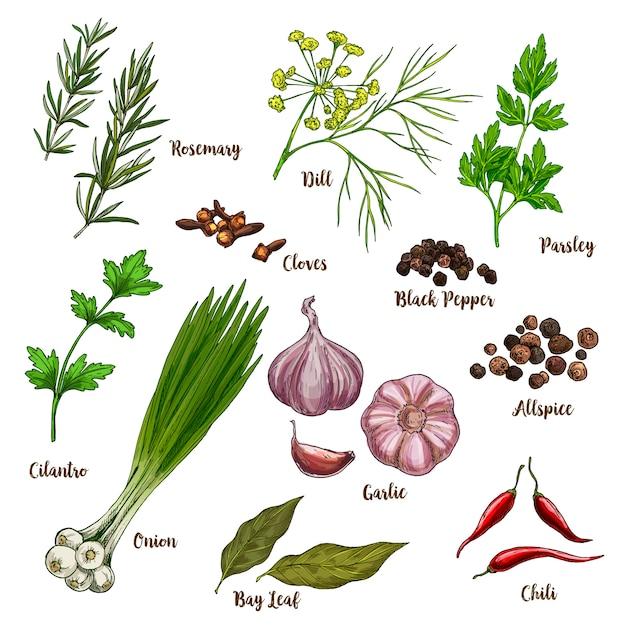Ilustración de boceto realista a todo color de hierbas y especias culinarias Vector Premium