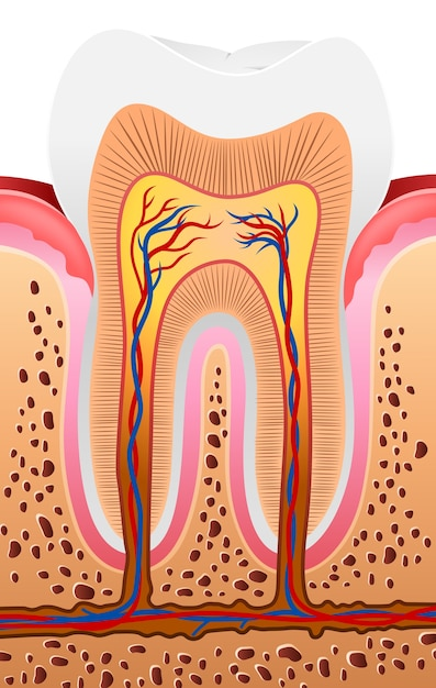 Ilustración de la anatomía del diente humano | Descargar Vectores ...