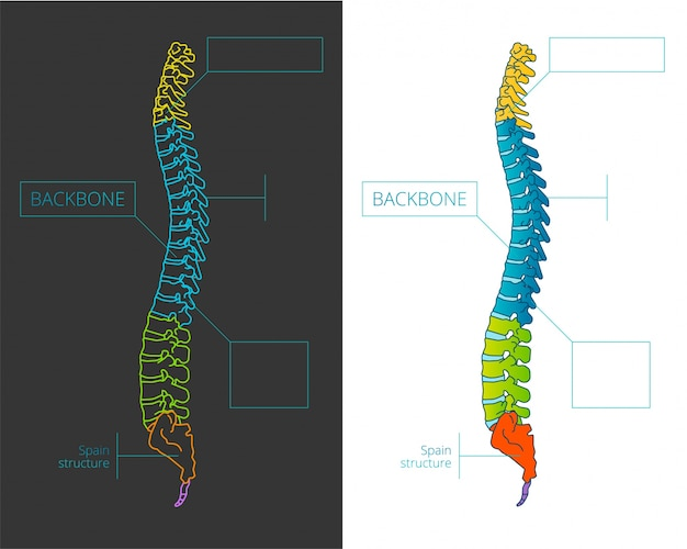 Ilustración de vector de hueso de la columna vertebral con secciones ...