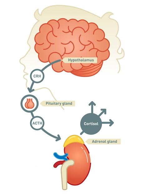 Ilustración del diagrama de cortisol | Descargar Vectores Premium