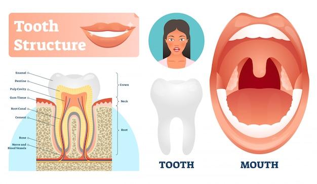 Ilustración de estructura dental. etiquetado esquema de dientes sanos médicos. Vector Premium