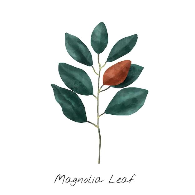 Ilustración de la hoja de magnolia aislada sobre fondo blanco. vector gratuito