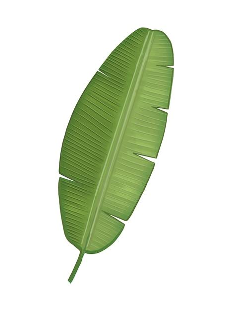 Ilustración de hoja de plátano verde tropical vector gratuito