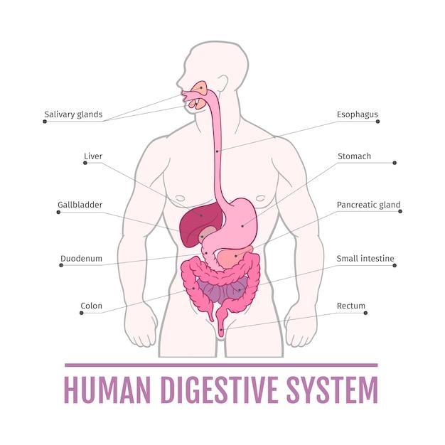 Ilustración médica del sistema digestivo humano. esquema para libros ...