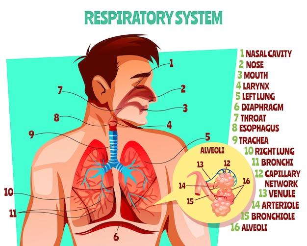 Ilustración del sistema respiratorio humano. diseño médico de caricatura de cuerpo de hombre con pulmones. vector gratuito