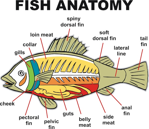Ilustración de vector de peces de anatomía | Descargar Vectores Premium