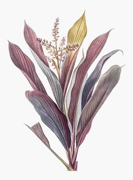 Ilustración vintage de cordyline fruticosa vector gratuito