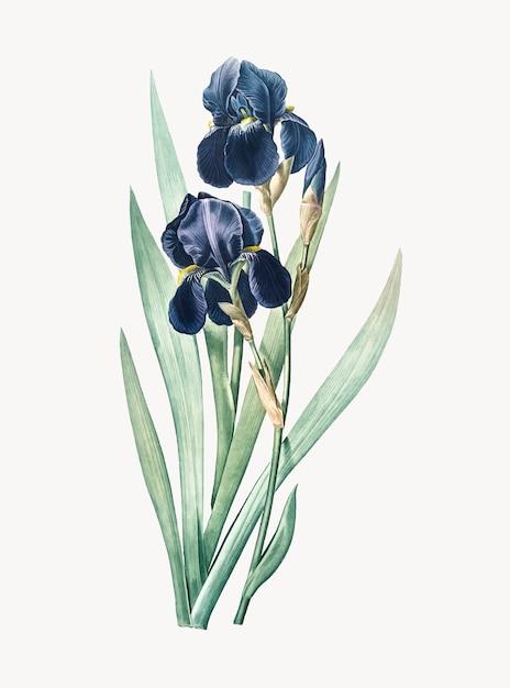 Ilustración vintage de iris alemán vector gratuito
