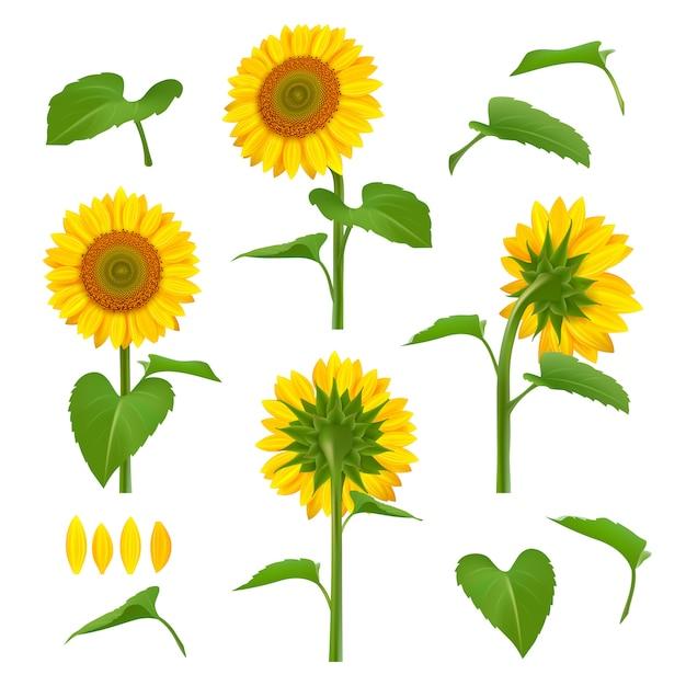 Ilustraciones de girasoles. jardín botánico amarillo belleza girasoles con semillas imágenes de fondo floral Vector Premium