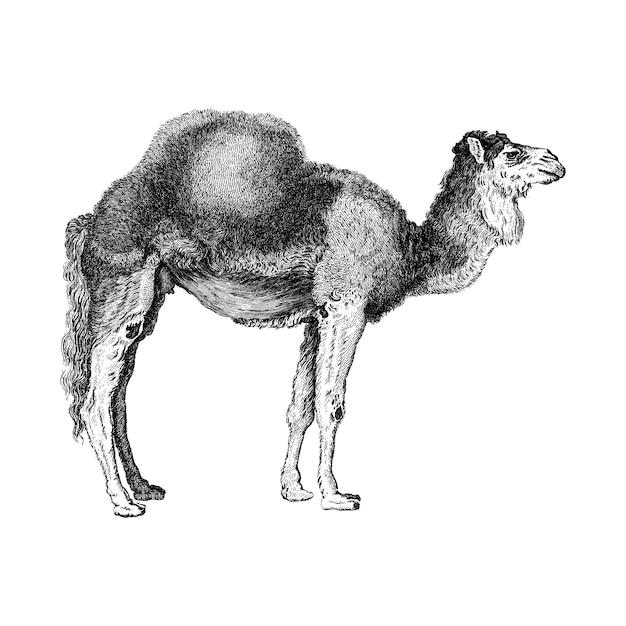 Ilustraciones vintage de camello árabe vector gratuito