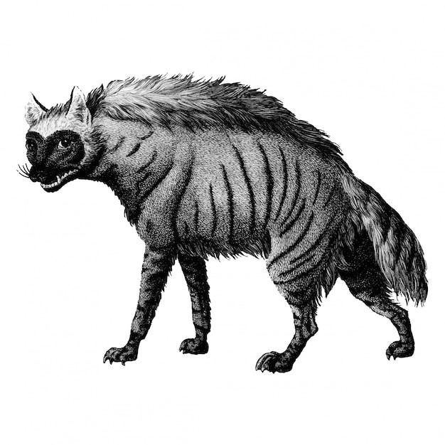 Ilustraciones vintage de hiena rayada vector gratuito