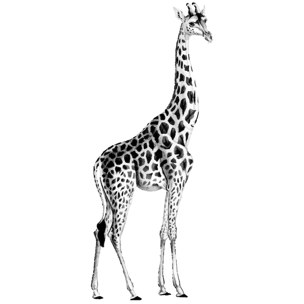 Ilustraciones vintage de jirafa vector gratuito