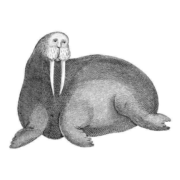 Ilustraciones vintage de morsa ártica vector gratuito
