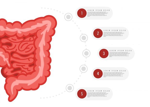 Infografía de anatomía del sistema digestivo Vector Premium