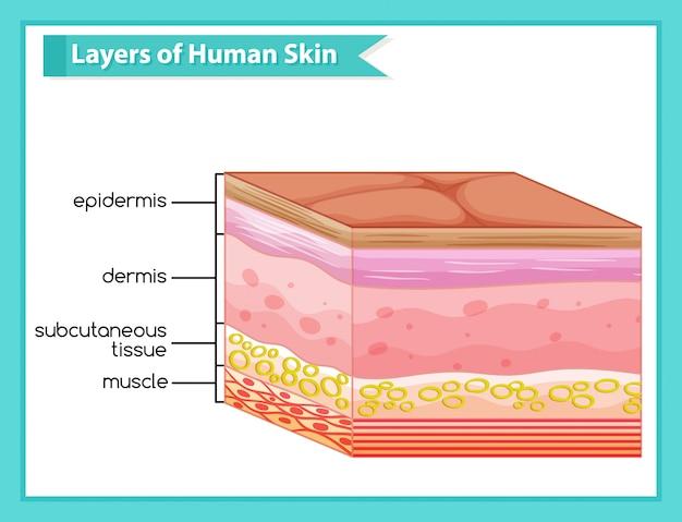 Infografía médica científica de las capas de la piel humana. vector gratuito