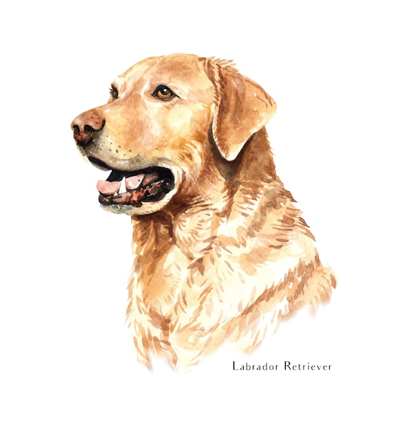 Labrador retriever perro acuarela. Vector Premium