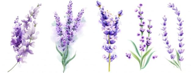 Lavanda set acuarela. hermosos ramos florales aislados Vector Premium