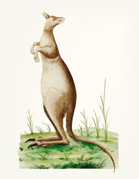 Mano dibujada de gran canguro Vector Premium