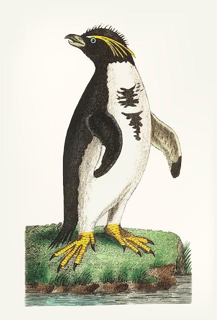Mano dibujada de pingüino con cresta Vector Premium