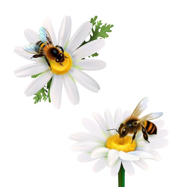 Miel de abejas sentado en flores de margarita vector gratuito