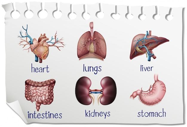 Órganos humanos en el papel vector gratuito