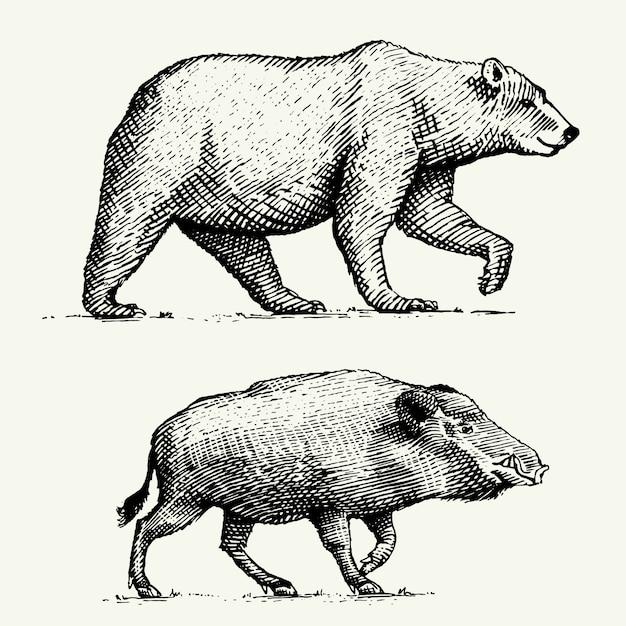 Oso salvaje grizzly y jabalí o cerdo grabado dibujado a mano en estilo antiguo boceto, animales antiguos Vector Premium