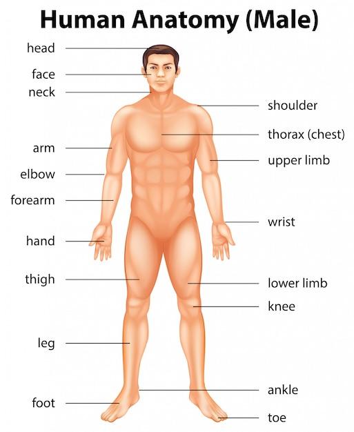 Partes del cuerpo humano | Descargar Vectores Premium